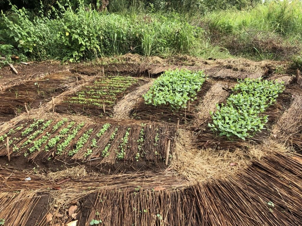 Deeply dug and well mulched planting beds allow for denser planting and road growth in the Permagarden. Palabek Refugee Settlement, Northern Uganda. African Women Rising